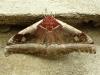 cabbage-tree-emperor-moth-bunaea-alcinoe