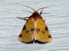 obtuse-yellow-moth-azenia-obtusa
