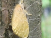 yellow-tussock-moth-euproctis-lutea