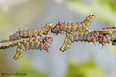Red-Humped Caterpillars, Schizura concinna