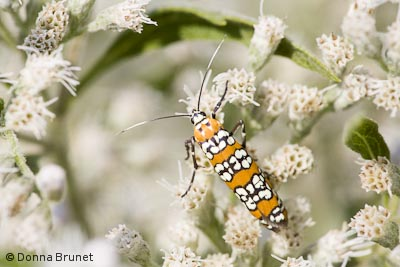 Ailanthus Webworm Moth, Atteva punctella