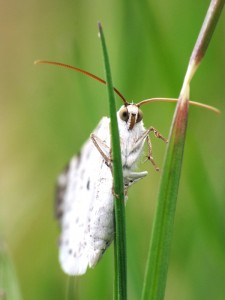 An early April garden visitor: Bluish Spring Moth, Lomographa semiclarata