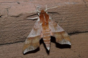 Azalea Sphinx Moth