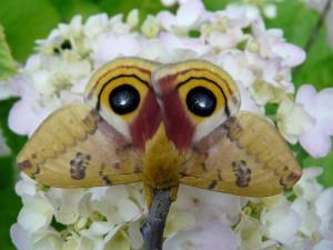 Io Moth