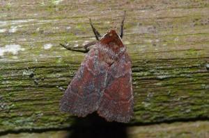 Sundew Dart Moth