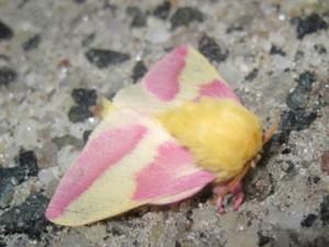 Rosy Maple Moth / Dryocampa rubicunda