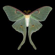 Luna moth scan (© Jim des Rivières)