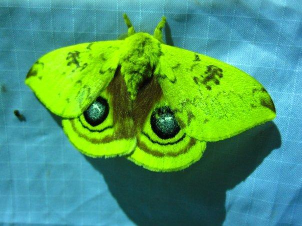 Io moth with eyespots  (c) Elena Tartaglia