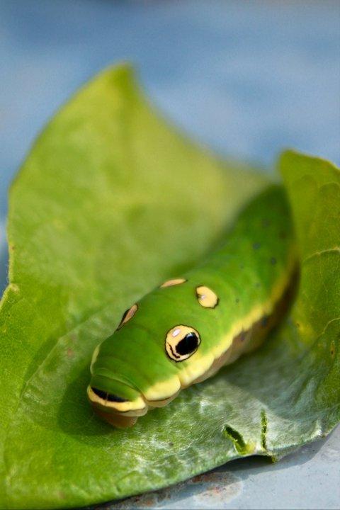 Snake mimicking swallowtail caterpillar (c) Elena Tartaglia
