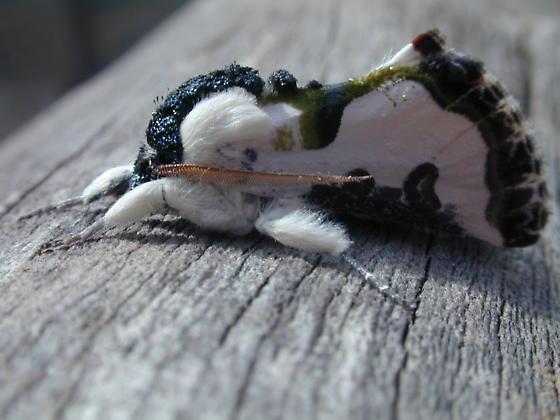 Wilson's wood nymph, a bird poop mimic.  (c) Yokobachi via Bugguide