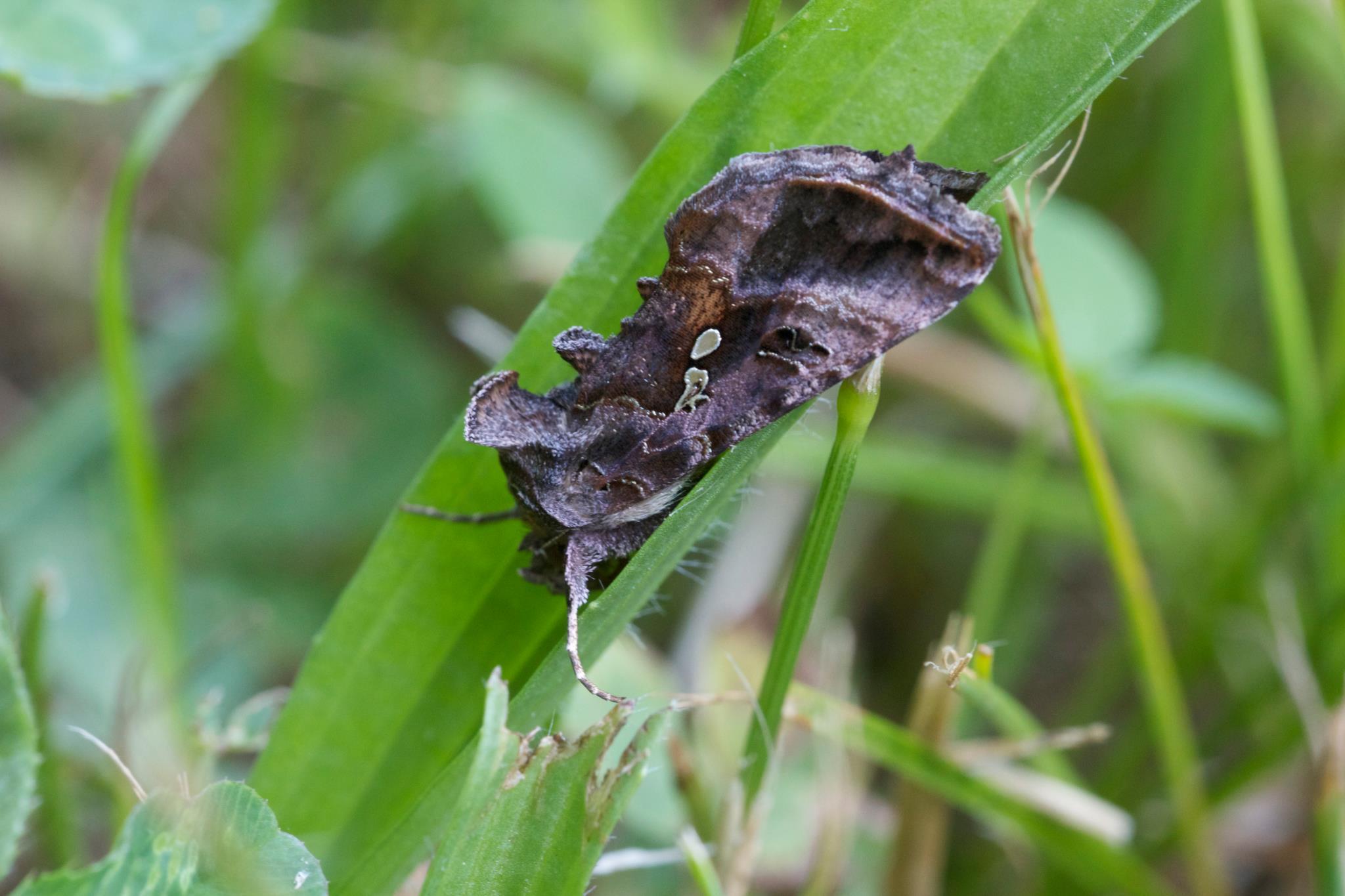 Soybean looper with iridescent wing patches  (c) Elena Tartaglia