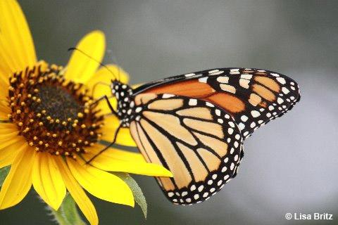 PollinatrosWeek_copyrightLB