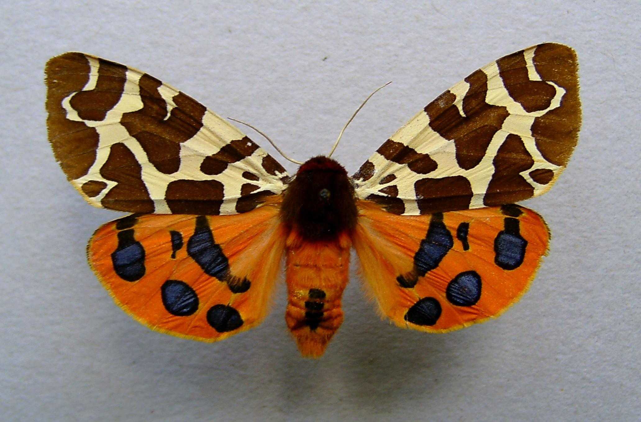 Some More Info on NMW Partner Moth Night – UK   National Moth Week