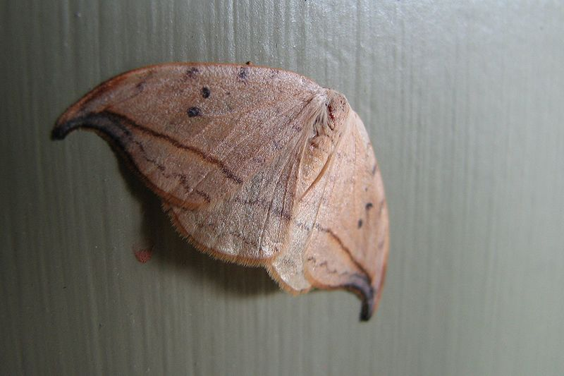 Arched hooktip, Drepana arcuata (Photo by Michael Hodge via Wikipedia)