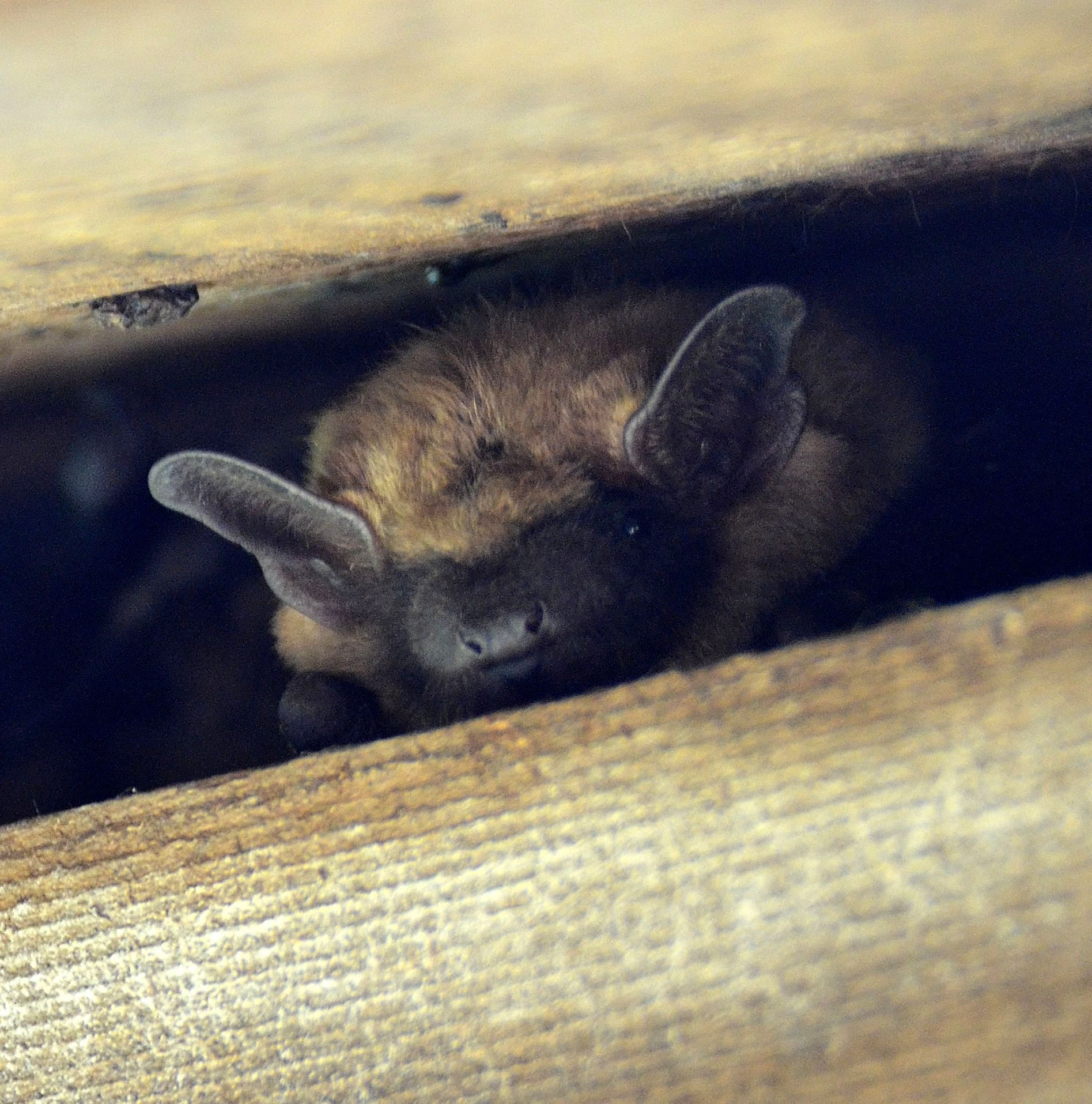 Big Brown Bat, Eptesicus fuscus