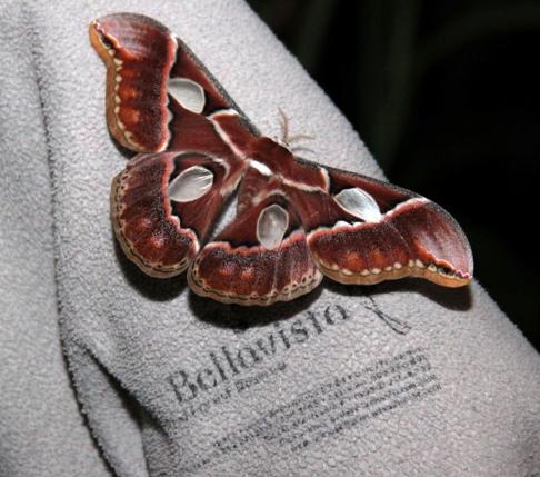 Atlas moth. Photo courtesy of BellaVista Cloud Forest
