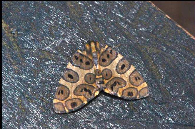 A beautiful Ecuadorian moth. Photo courtesy of BellaVista Cloud Forest.