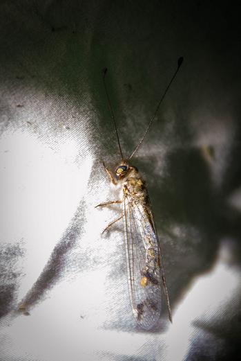 Owlfly! Photo courtesy of Stockton Flickr site.