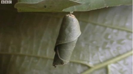 The leaf-wrapped leaping caterpillar