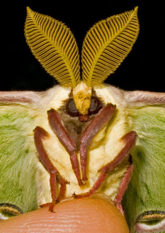 Luna moth by W. Krupsaw