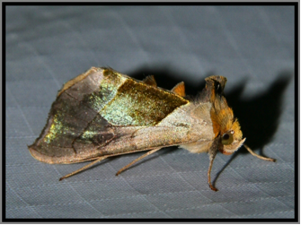 Green Patched Looper (Hologram Moth) - Diachrysia balluca
