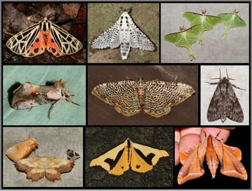 Top left to bottom right: Virgin Tiger Moth (Grammia virgo), Leopard Moth (Zeuzera pyrina), Luna Moths (Actias luna), Pink-Patched Looper (Eosphoropteryx thyatyroides), Furguson's Scallop Shell (Rheumaptera prunivorata), Northern Pine Sphinx (Lapara bombycoides), White-Dotted Prominent (Nadata gibbosa), Muzaria Euchlaena (Euchlaena muzaria), Pink-barred Lithacodia (Pseudeustrotia carneola) , Clymene Moth (Haploa clymene) , and Huckleberry Sphinx Moth (Paonias astylus)