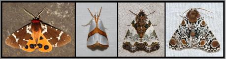 Great Tiger Moth Arctia caja, Straight-lined Argyria Argyria critica , Tufted Bird-Dropping Moth Cerma cerintha, Harris's 3 Spot Harrisimemna trisignata.