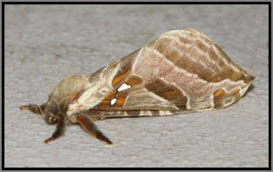 Silver Spotted Ghost Moth - Sthenopis argenteomaculatus