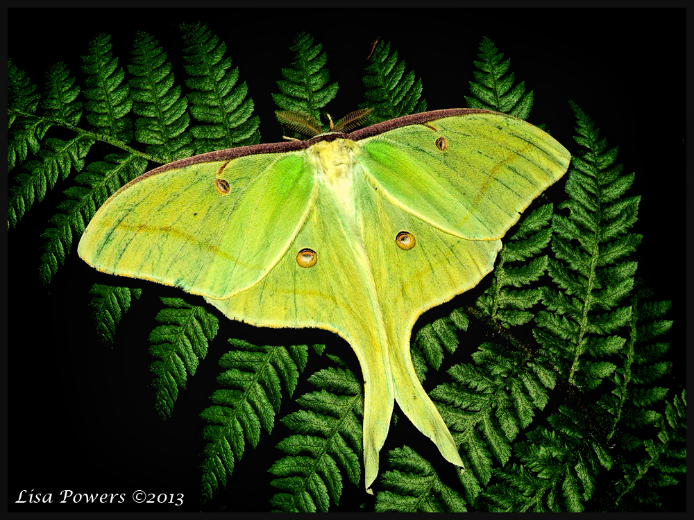 The gorgeous Luna Moth (Actias luna) spotted by Project Noah member LisaPowers.