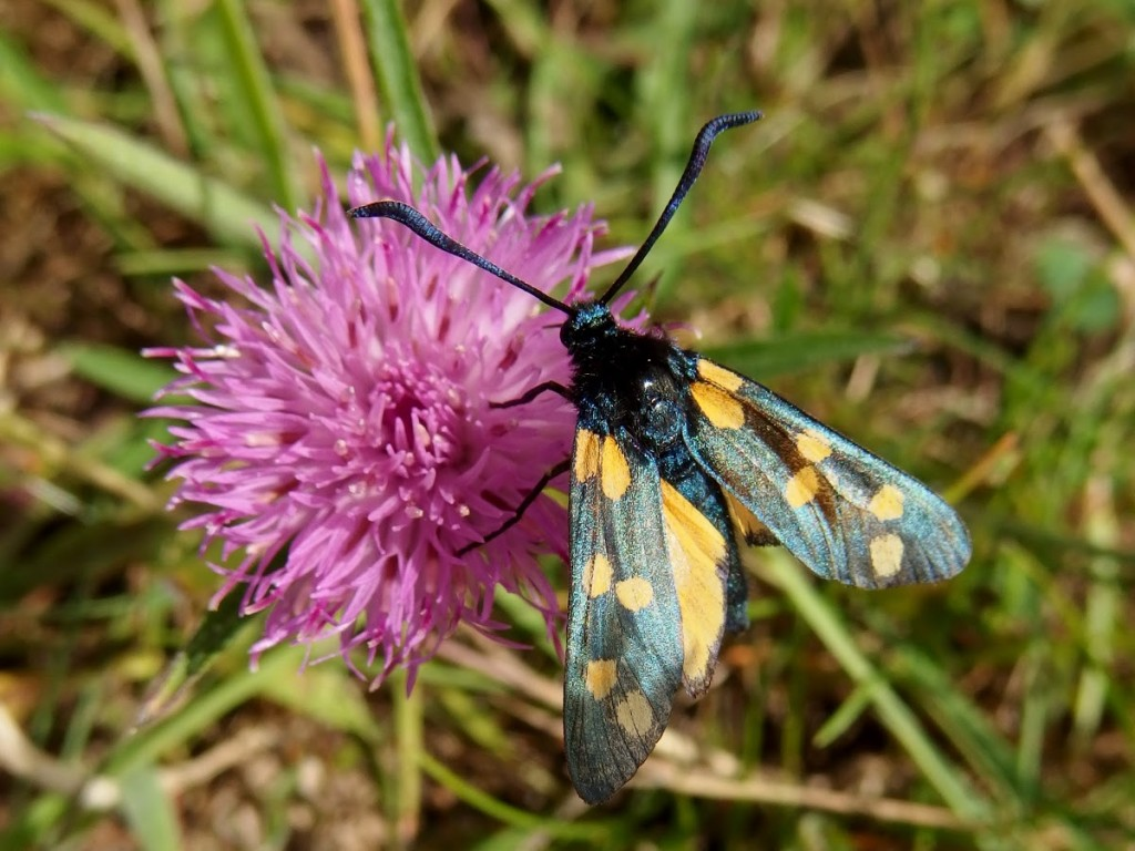 The rare yellow form of the Six-spot Burnet, Zygaena filipendulae f. flava, spotted by Project Noah member Thoreck.