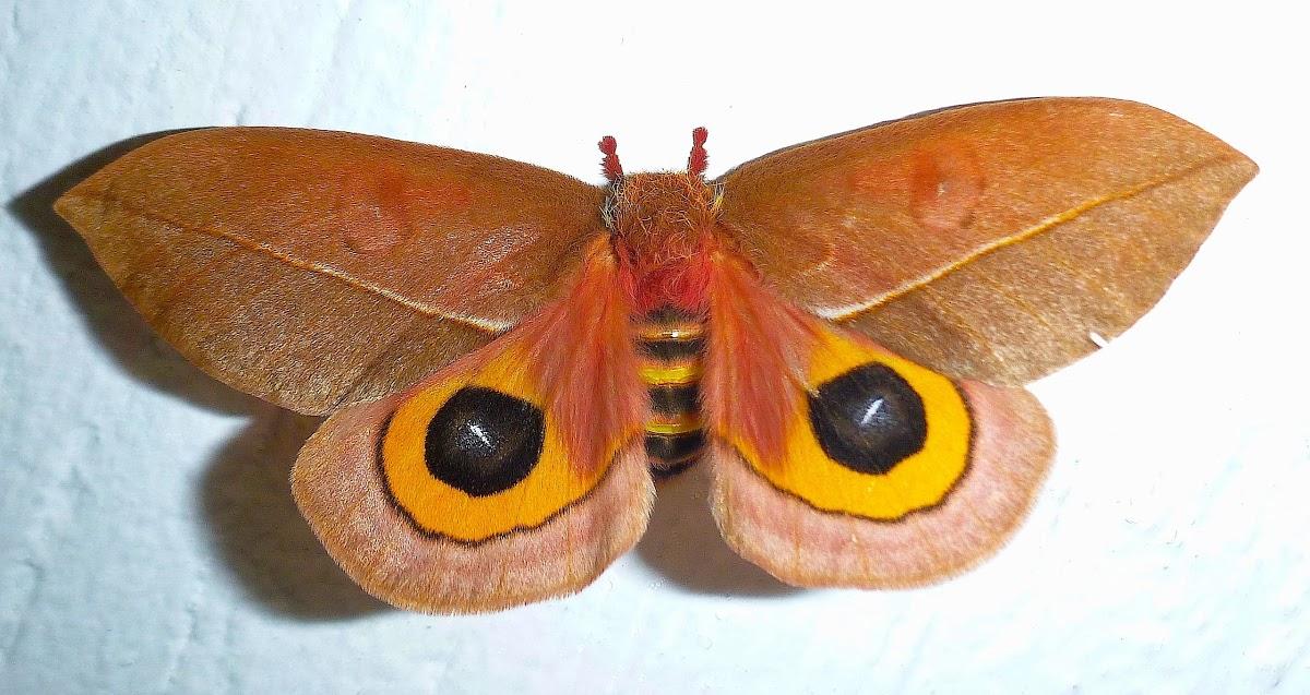 Automeris Moth Automeris zozine