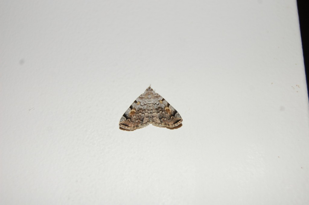 Idia americalis, a moth found at the mercury vapor setup during Day 4 (May 11, 2014). Photo by Katherine Bardsley and Anjali Nambrath.