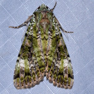 11000 - Anaplectoides prasina - Green Arches Moth 2014 07 26 Pittsburg NH (95) cmf nmw
