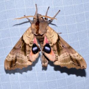 7824 - Paonias excaecata - Blind-eyed Sphinx