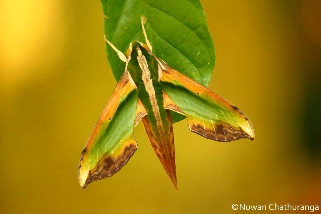 Green Hawkmoth (Pergesa acteus), spotted by Nuwan Chathuranga of Project Noah.