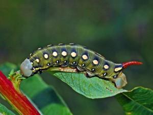 Hyles gallii caterpillar (photo via Wikimedia commons)