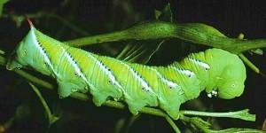 Sphingidae caterpillar (photo (c) UNL entomology)
