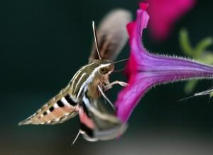 Hyles lineata drinking nectar  Photo (c) M. Smith