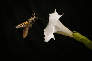 The year of the sphingidae pollination national moth week a manduca hovers while drinking nectar from a datura flower note the white color and mightylinksfo