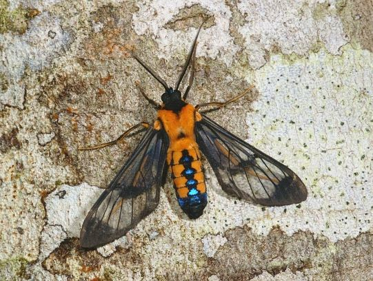 Moth week at Bellavista Cloud Forest Ecuador - information in 4 languages ​​| National Moth Week