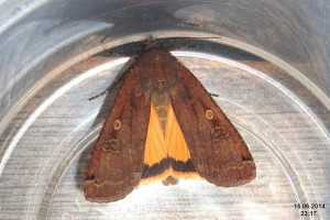 Large yellow underwing (David Short)