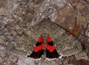 Red Underwing 140811 Catocala nupta