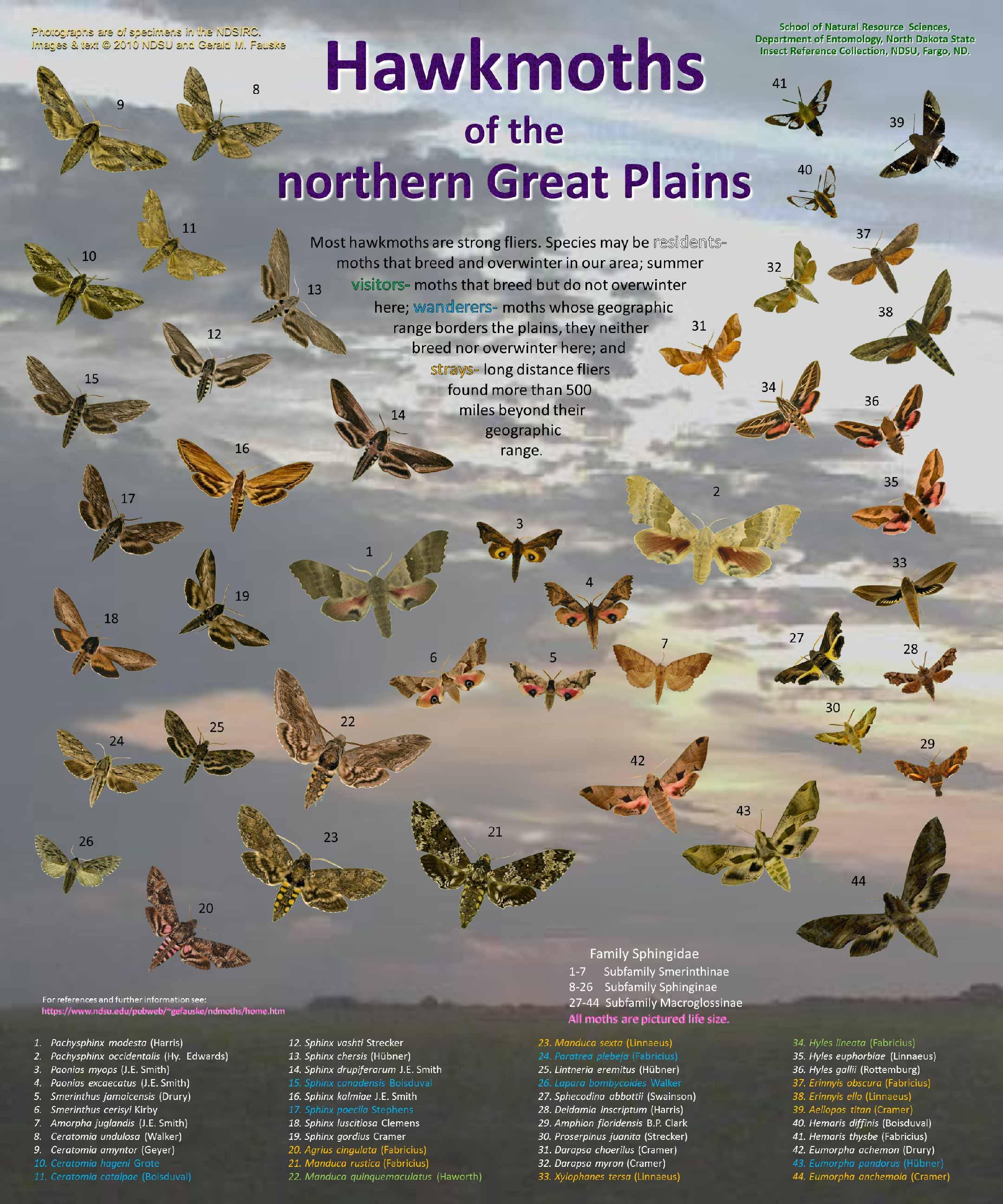 Sphingidae poster 5