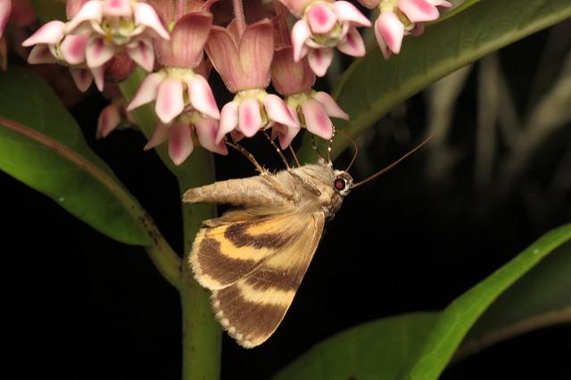 Catocala gracilis