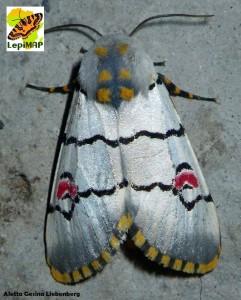 Cherry Spot moth Diaphone eumela