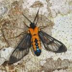 Cosmosoma-sectinota