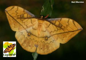 Leaf Emperor Pselaphelia flavivitta