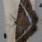 Noct Ascalapha odorata female_IMG_1369