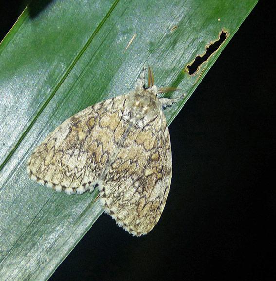 Dasychiroides sp.