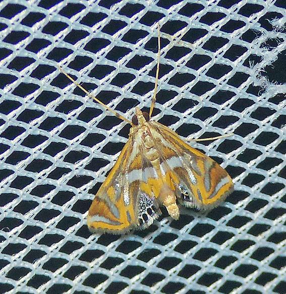 Margarosticha sphenotis